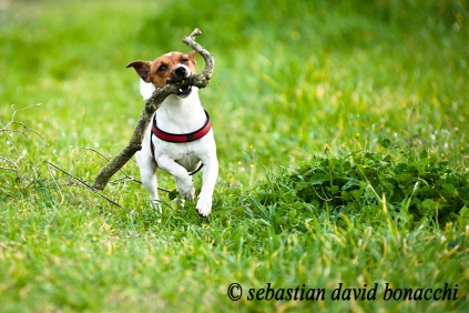 jack russel running, corsa canina, bastone bocca cane